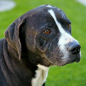 Beverly is a big dog with an even bigger heart. This 8-year-old Hound/Retriever mix is wonderful with adults and children and loves affection, treats, and walks. Find out how to adopt her at SAHumane.org. (Photo: San Antonio Humane Society)
