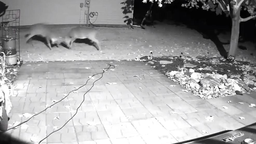 Buck battle caught on camera in backyard of Minnesota home.jpg