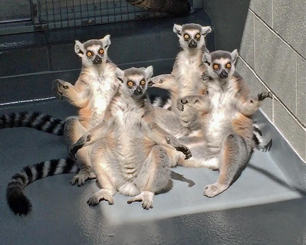 "This is what the lemurs' ""sun worshipping"" looks like in action. (Image: Tennessee Aquarium)"