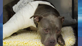 Pit bull found shot, abandoned on side of the road in SW Baltimore