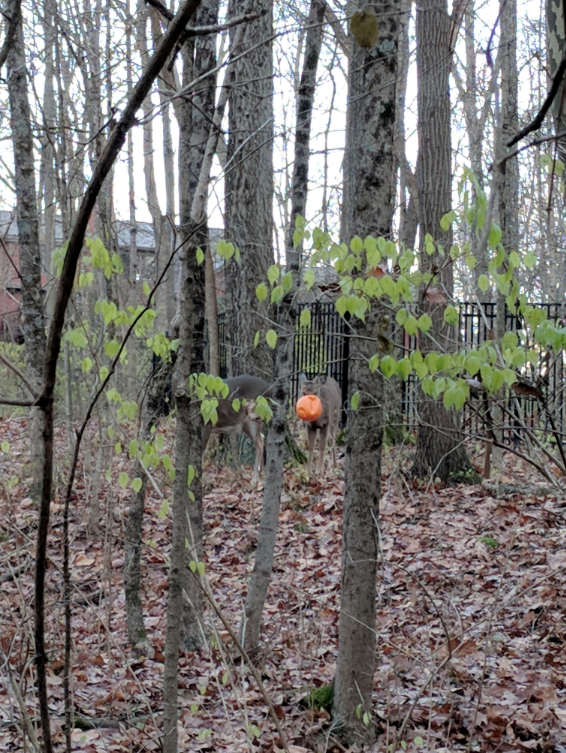 An Upper Arlington deer has had a plastic pumpkin on it's head for five days. (WSYX/WTTE)