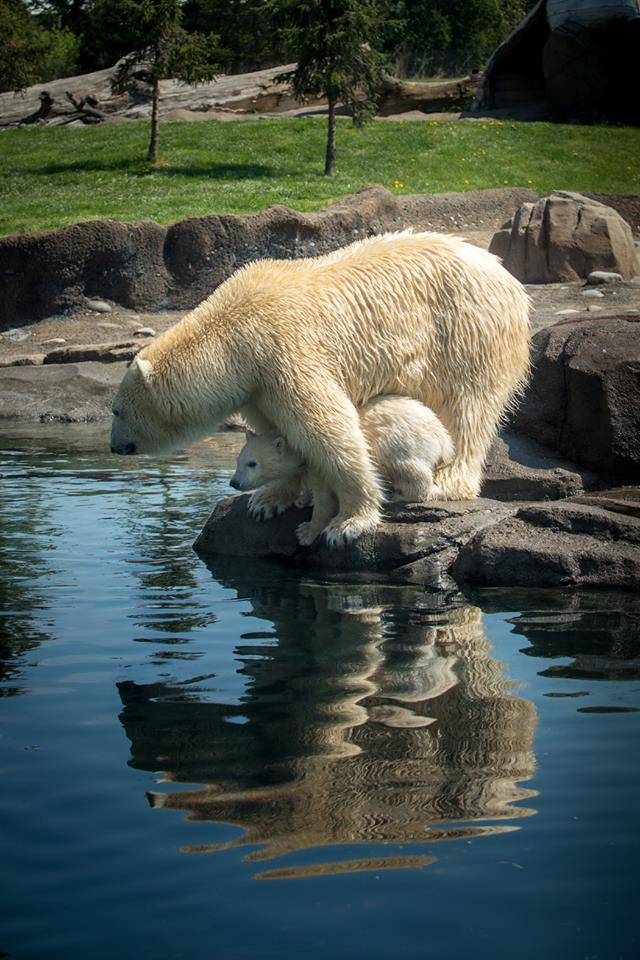 Anana and her cub will be out for viewing in the Polar Frontier habitat starting Wednesday. (Courtesy: The Columbus Zoo)