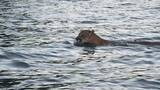 Caught on Camera: Mountain lion takes a swim
