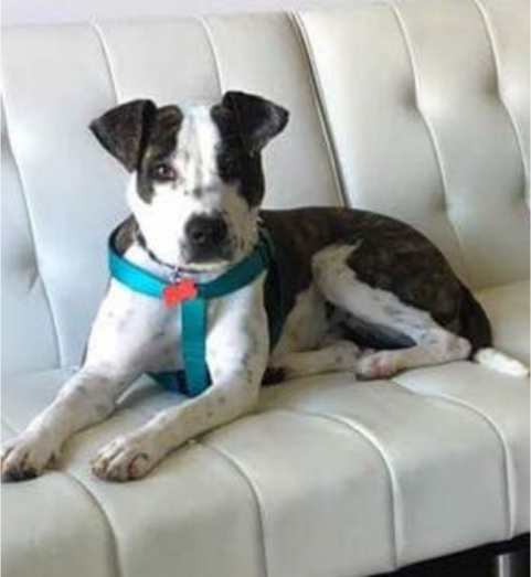 Pepper is our next dog featured in our Refined to the Rescue series! (Image courtesy of Saving Great Animals).
