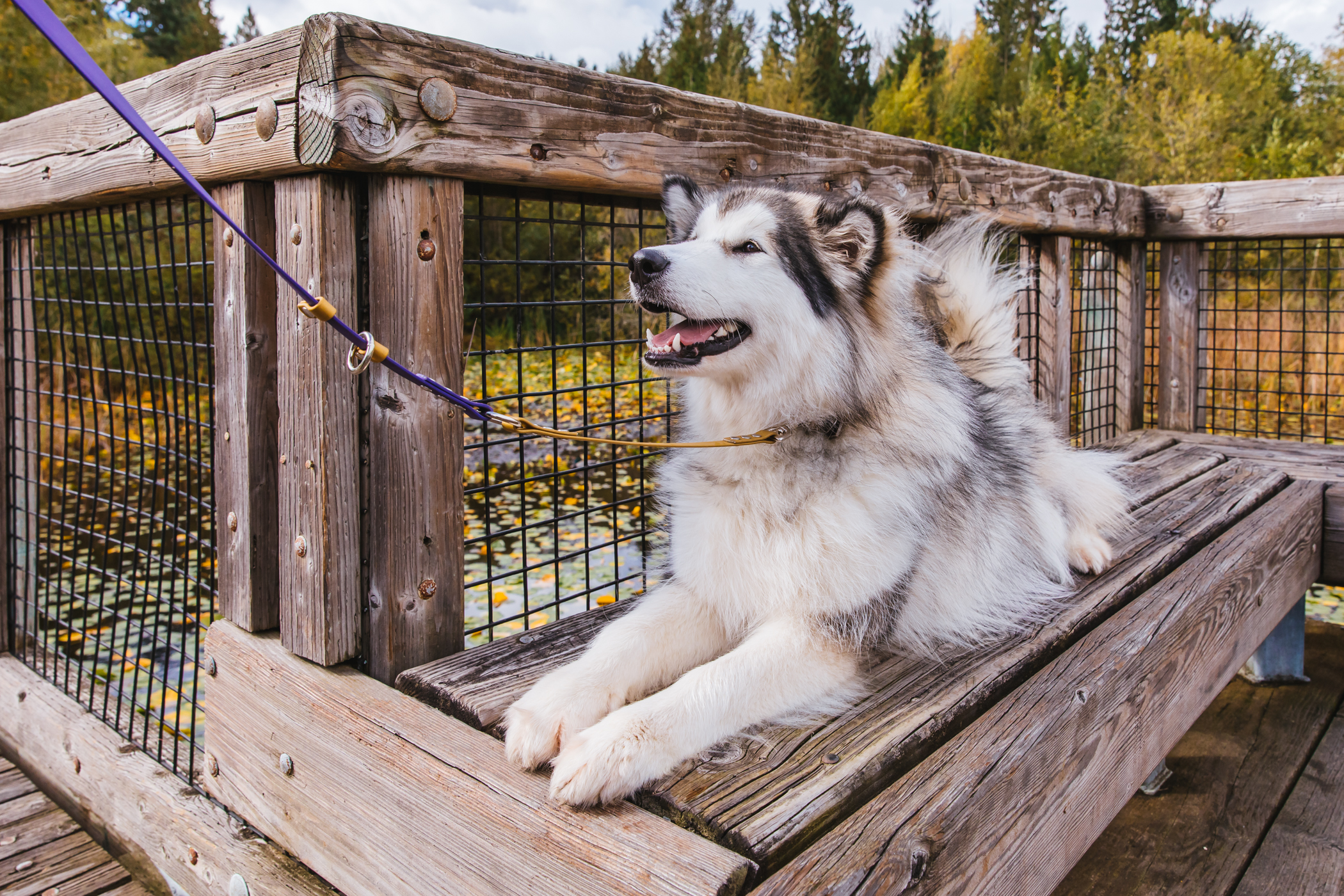 "She's got plenty of nicknames, but this 11-month-old{&nbsp;}Alaskan Malamute's full name is{&nbsp;}Gryphon's McKinley Moon. She's a woolly Malamute, meaning she has more fluffy hair than usual.{&nbsp;}McKinley's owners said she helped heal their hearts after losing{&nbsp;}Kona, their six-year-old Malamute, to cancer. She's a ""special soul"" who frequents{&nbsp;}local breweries in Snoqualmie and North Bend.{&nbsp;}McKinley loves toys, peanut butter treats, cuddles and long walks (while carrying a stick) but hates rabbits in her yard! Keep up with her on IG{&nbsp;}<a  href=""https://www.instagram.com/benson_mckinley/"" target=""_blank"" title=""https://www.instagram.com/benson_mckinley/"">@benson_mckinley</a>.{&nbsp;}The{&nbsp;}<a  href=""http://seattlerefined.com/ruffined"" target=""_blank"" title=""http://seattlerefined.com/ruffined"">RUFFined Spotlight</a>{&nbsp;}is a weekly profile of local pets living and loving life in the PNW. If you or someone you know has a pet you'd like featured, email us at hello@seattlerefined.com, and your furbaby could be the next spotlighted! (Image: Sunita Martini / Seattle Refined)"