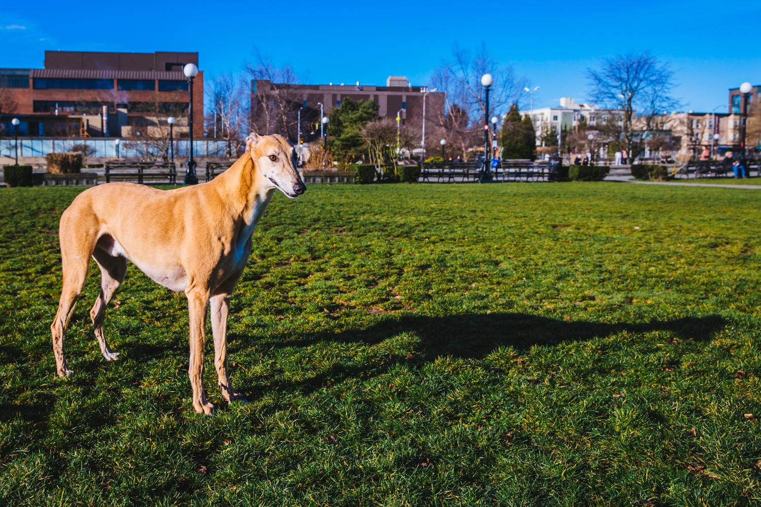 Hey, Hoyt! Hoyt is a 7-year-old Greyhound and is enjoying a life of retirement after a life of racing in Florida. Hoyt likes to sleep, go on hikes, car rides, Jelly Bellys and licorice. He dislikes plain dog biscuits. The Seattle RUFFined Spotlight is a weekly profile of local pets living and loving life in the PNW. If you or someone you know has a pet you'd like featured, email us at hello@seattlerefined.com or tag #SeattleRUFFined and your furbaby could be the next spotlighted! (Image: Sunita Martini / Seattle Refined).