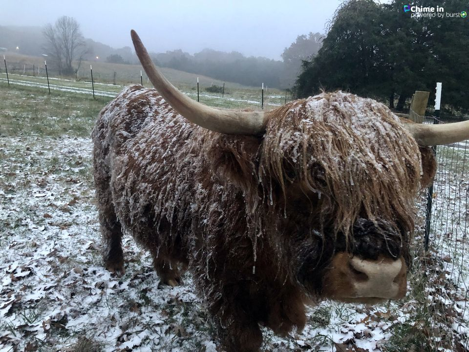 Bob the Scottish Highland Cow on Cagle Mtn from David Bizzell