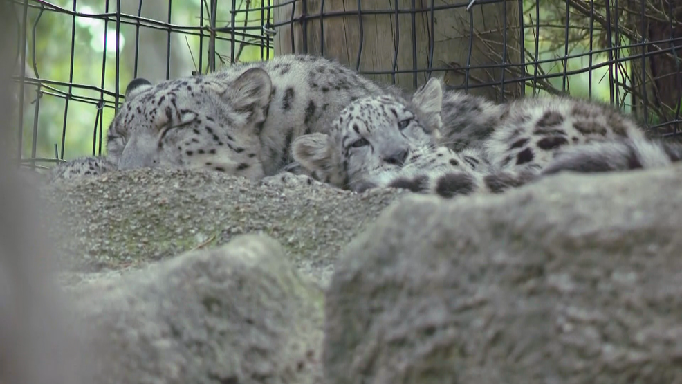 the rosamond gifford zoo introduces twin snow leopard cubs wstm