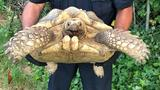 Tortoise makes it 10 feet before police arrive
