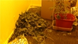 Four arrested in large marijuana grow operation