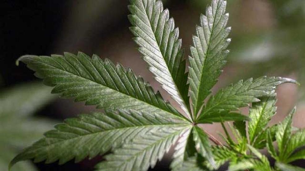 How to Sex Marijuana Plants
