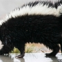 Vaccine clinic to be held after woman is bitten by rabid skunk