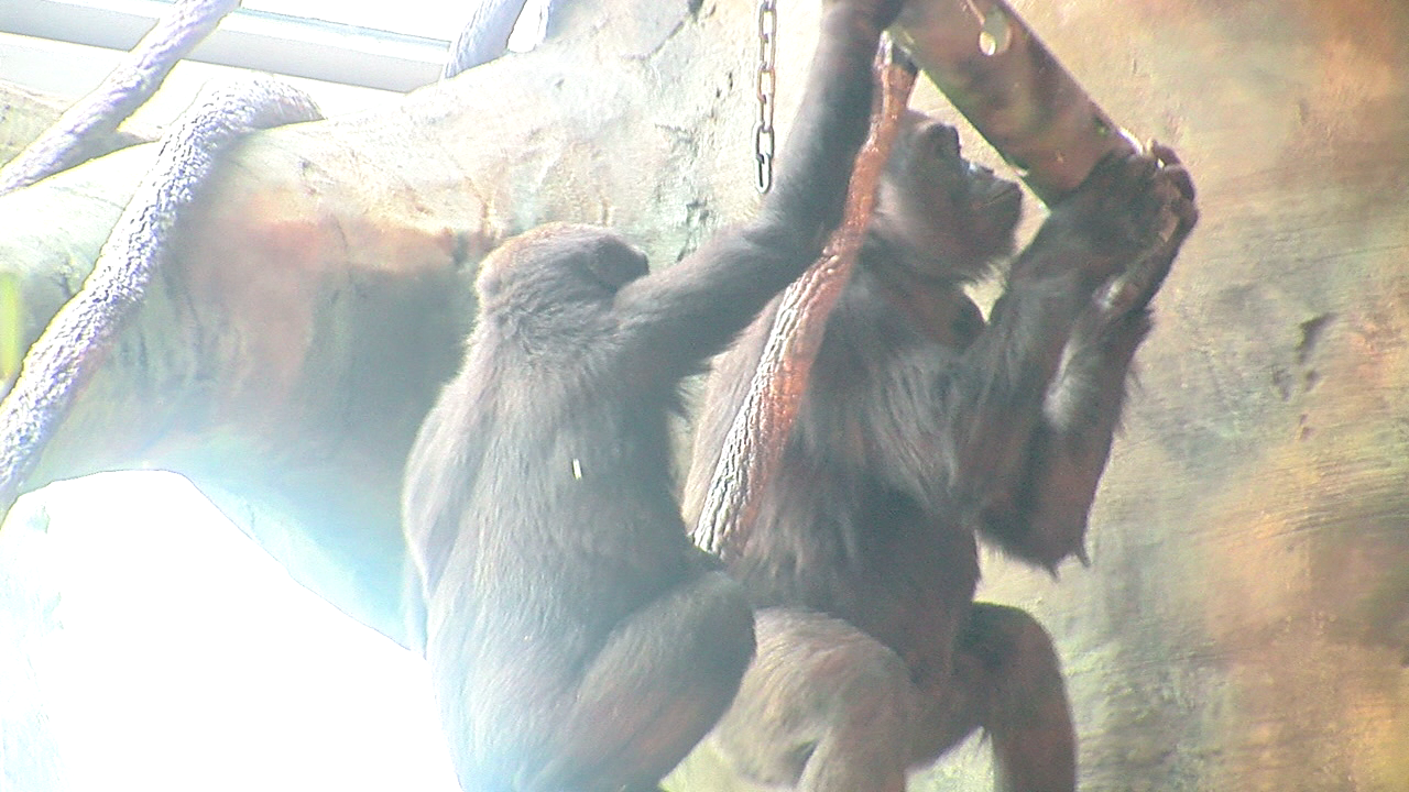 Gorilla World indoor expansion opens to the public Dec. 5. (WKRC)