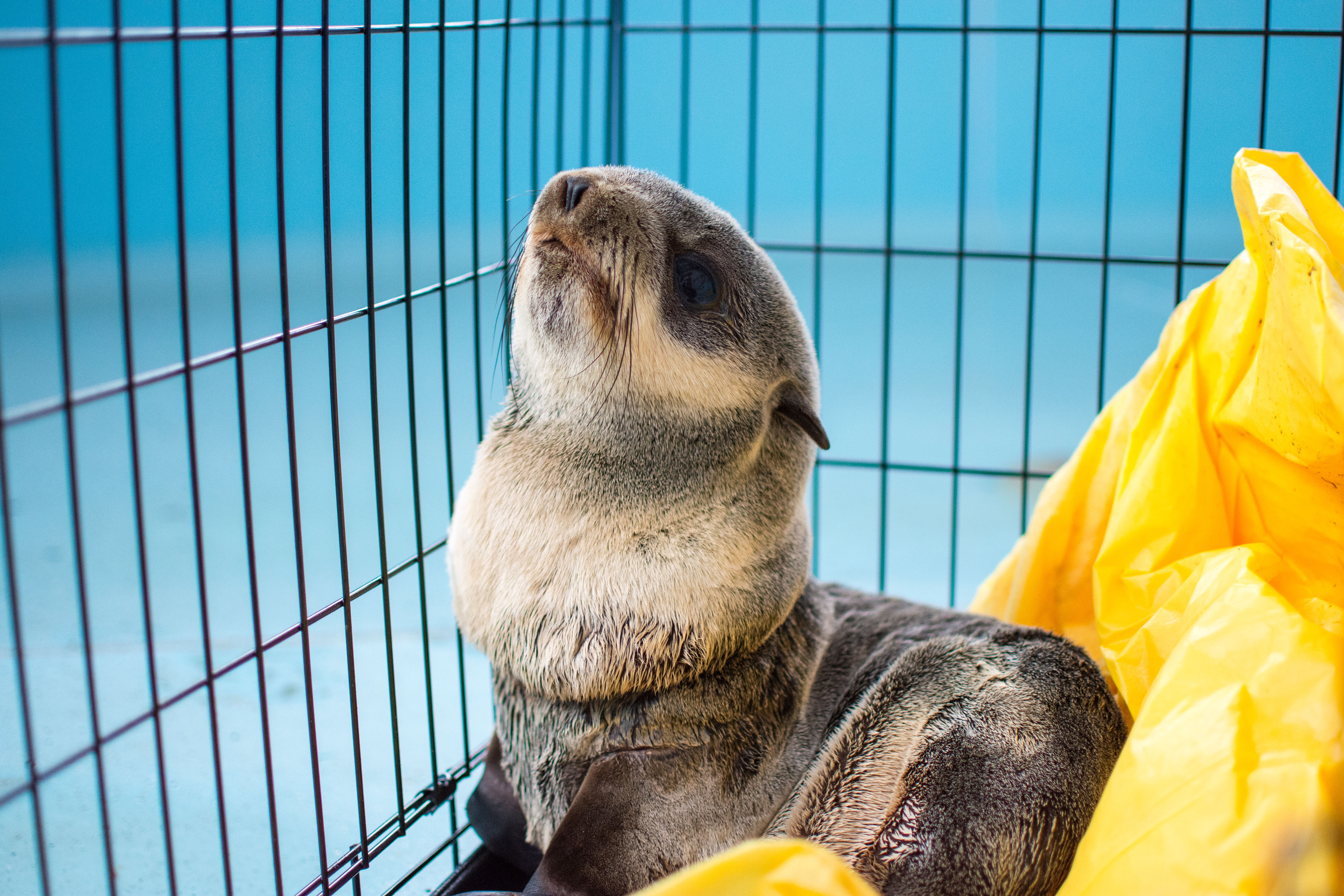 A fur seal pup found with a plastic string around the neck in an RV parking lot in Winchester Bay on Monday will be released back into the wild Wednesday, the Oregon Coast Aquarium said. (Oregon Coast Aquarium)
