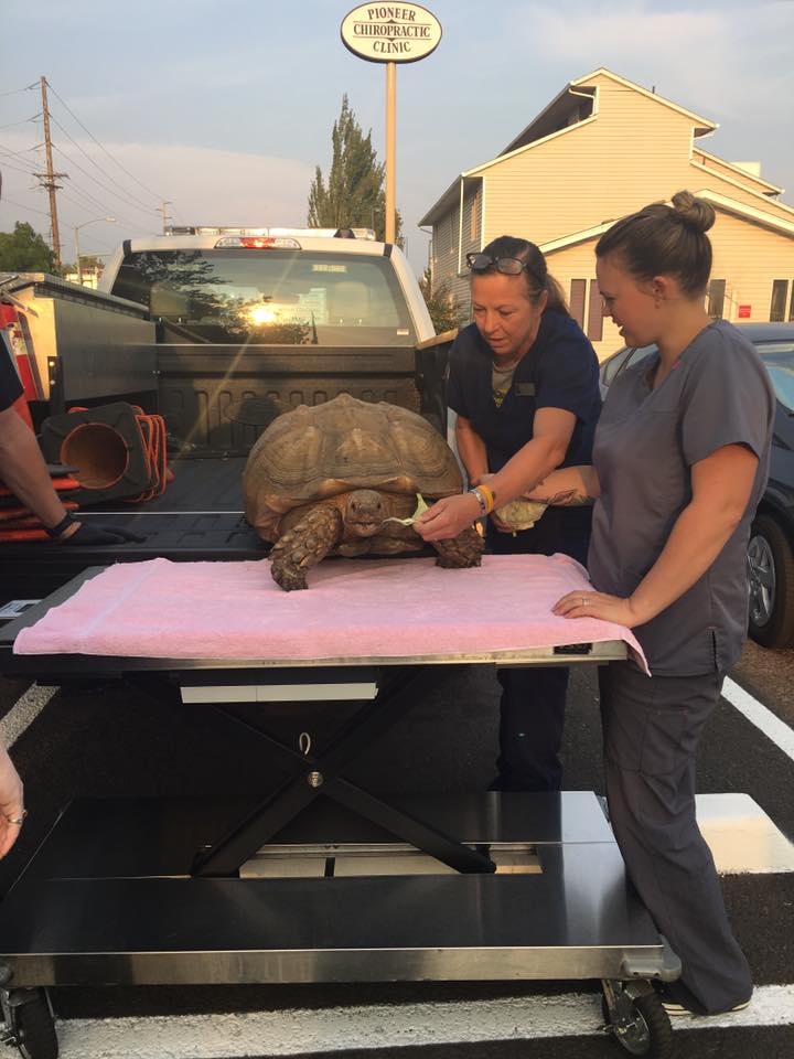 A veterinarian kept the tortoise overnight for safekeeping while police worked to locate the owner. (EPD photo)