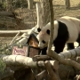Big crowds say goodbye to Bao Bao before she heads to new home in China
