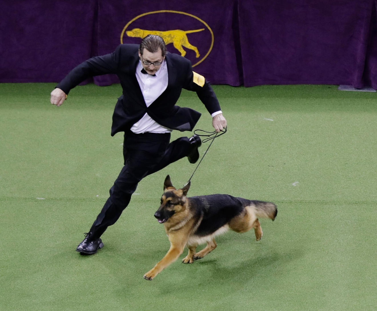 A handler guides Rumor, a German shepherd who later won Best in Show, at the 141st Westminster Kennel Club Dog Show on Tuesday, Feb. 14, 2017, in New York. (AP Photo/Frank Franklin II)