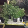 Dozens of marijuana plants seized following tip to police