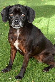 You can definitely see the Pug mix in this girl's adorable face Harmonica is a 7-year-old who loves meeting new people and is quite eager and energetic for her age. Find out how to adopt her at SAHumane.org. (Photo: San Antonio Humane Society)