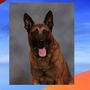 K-9 found dead after escaping kennel at deputy's home