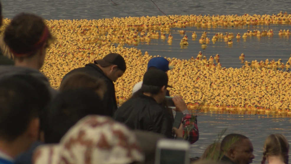 40 thousand rubber duckies released, race river at Columbia Park | KATU