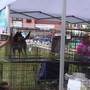 Frankenmuth's popular Dog Bowl grows to include 'Canine Cup' event