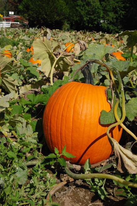 Remlinger Farms U-pick pumpkin field offers 10 acres of pumpkins to pick (Rebecca Mongrain/ Seattle Refined)
