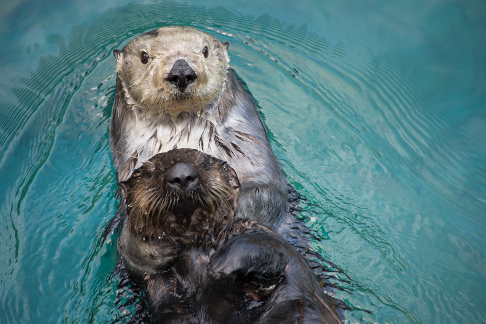 Sea otters Thelma (lighter head) and Juno interact in Steller Cove. ©Oregon Zoo/ Photo by Shervin Hess