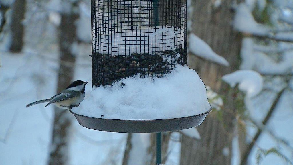 Chickadee on feeder at The Ridges Sanctuary in Baileys Harbor, December 14, 2017 (WLUK/Eric Peterson)
