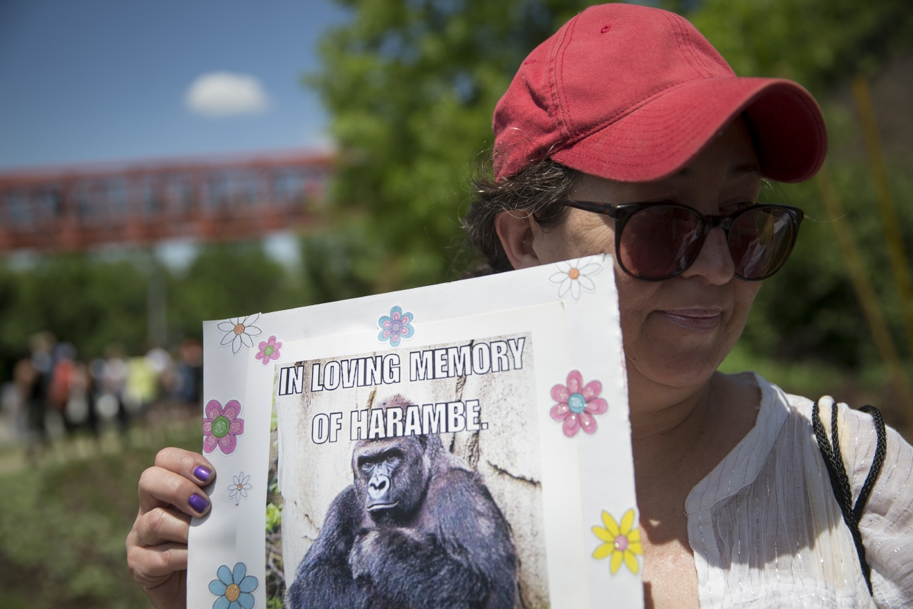Alesia Buttrey, of Cincinnati, holds a sign with a picture of the gorilla Harambe during a vigil in his honor outside the Cincinnati Zoo & Botanical Garden, Monday, May 30, 2016, in Cincinnati. Harambe was killed Saturday at the Cincinnati Zoo after a 4-year-old boy slipped into an exhibit and a special zoo response team concluded his life was in danger. (AP Photo/John Minchillo)