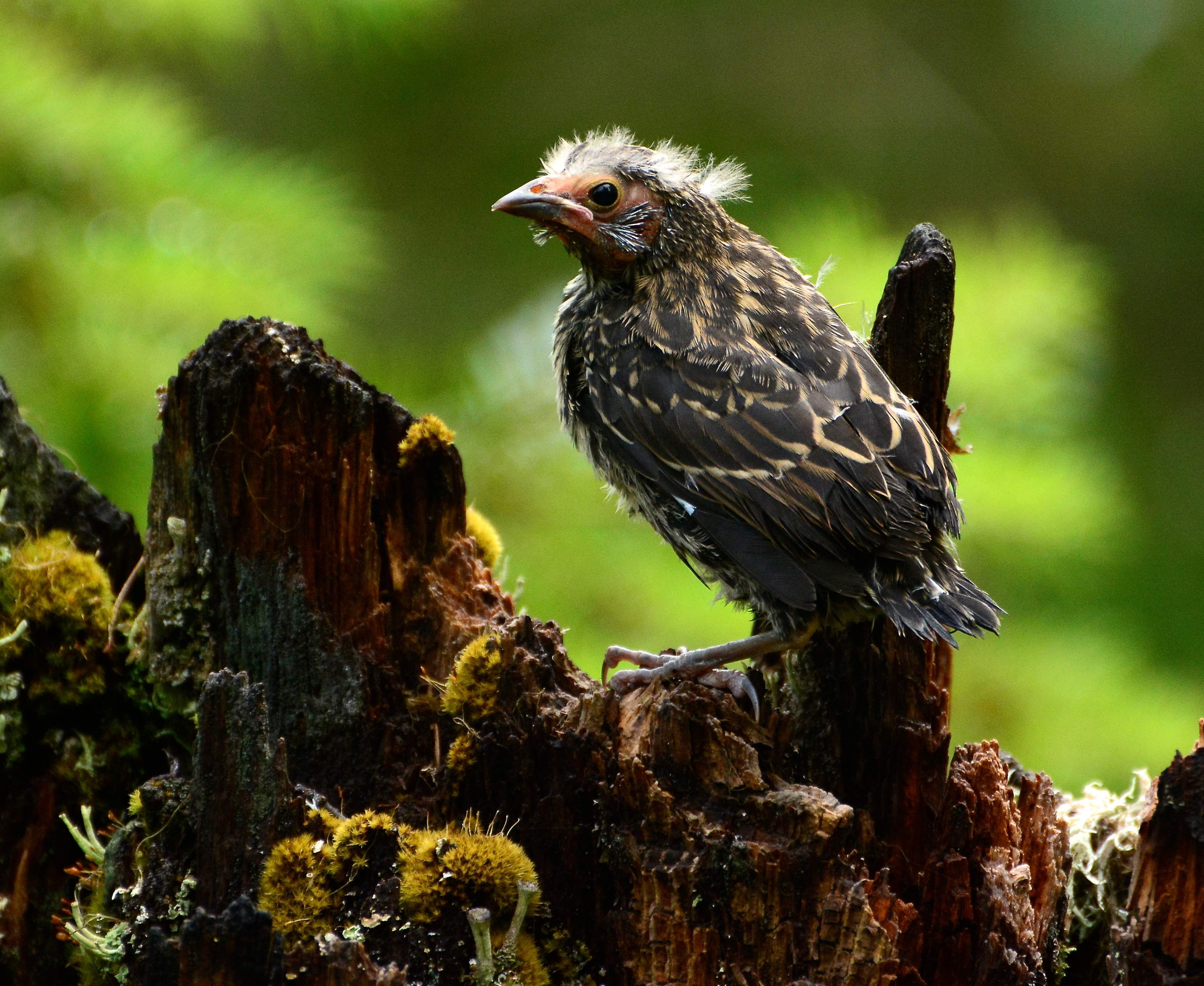 Unknown fledgling on a forest trail near Butte Falls. - Photo by Cher Rydberg