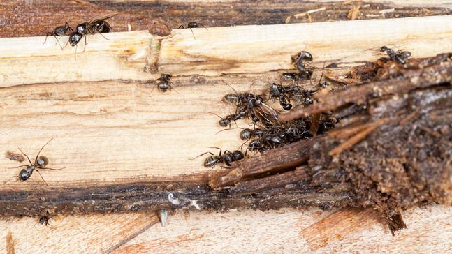 Can ants damage wood like termites do?