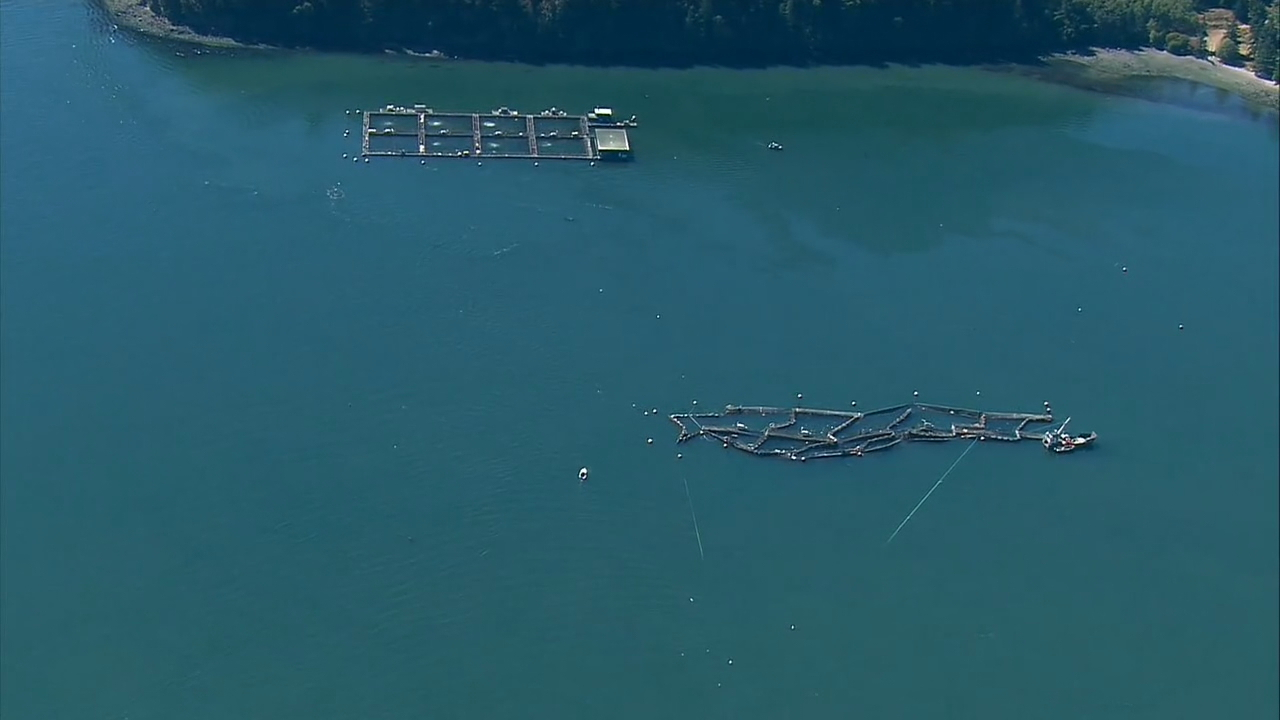 The Washington State Department of Fish and Wildlife (WDFW) is calling all fishermen to help catch thousands of farmed Atlantic Salmon that were accidentally released  just off Cypress Island in the San Juan Islands. (Photo: KOMO News)
