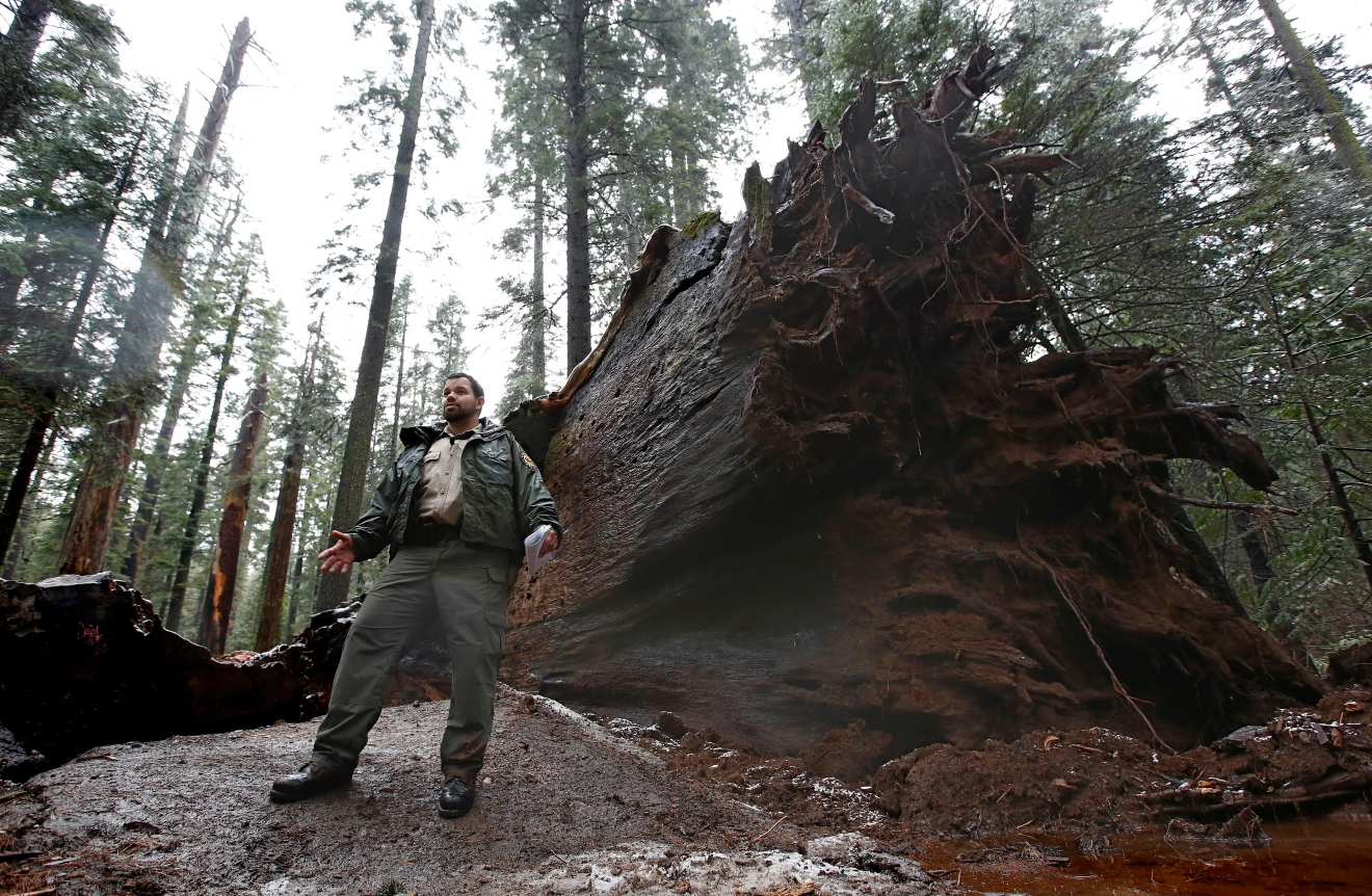 "California State Parks Supervising Ranger Tony Tealdi talks to reporters at hthe fallen Pioneer Cabin Tree at Calaveras Big Trees State Park, Monday, Jan. 9, 2017, in Arnold, Calif. Famous for a ""drive-thru"" hole carved into its trunk, the giant sequoia was toppled over by a massive storm Sunday. (AP Photo/Rich Pedroncelli)"