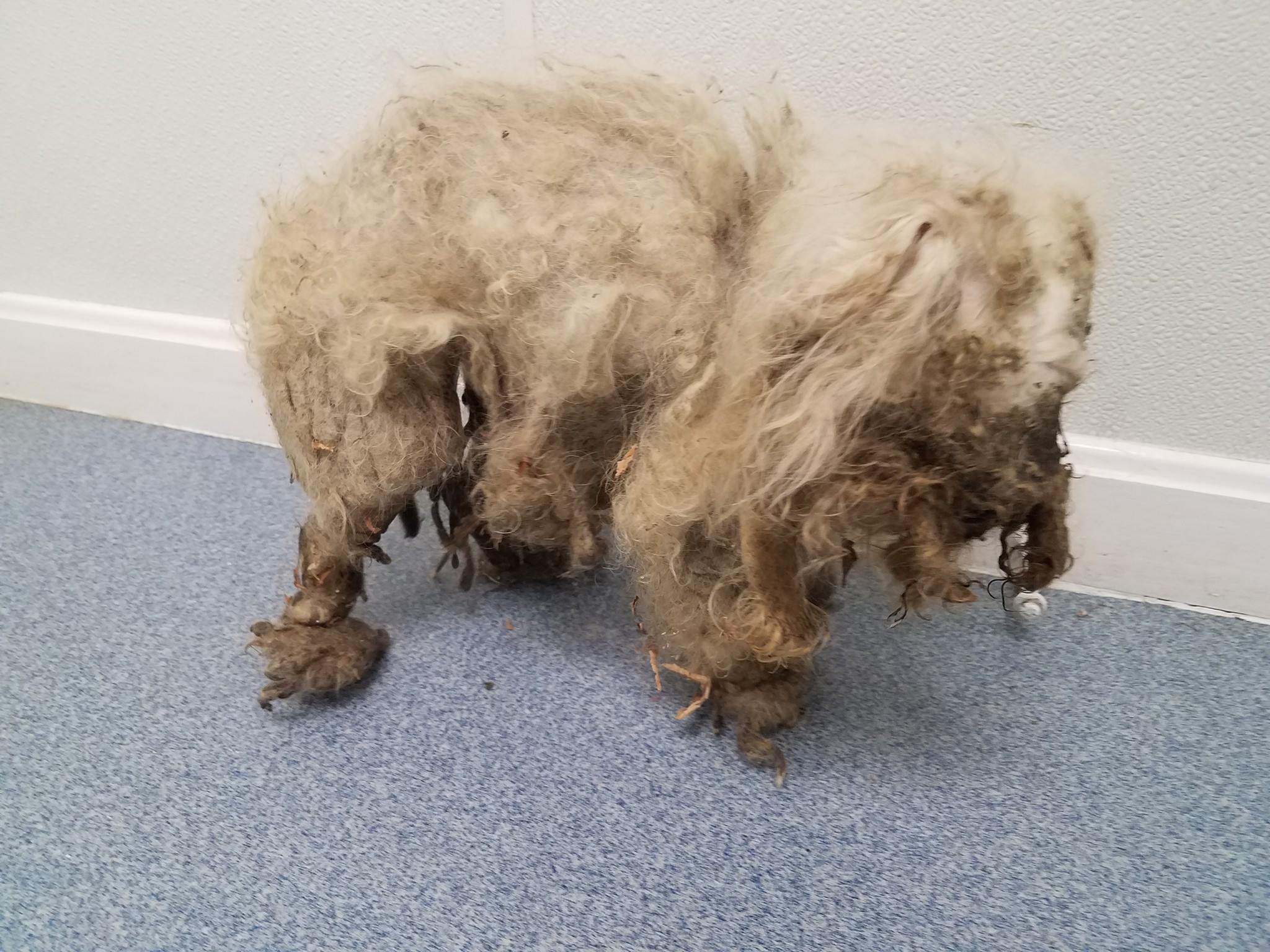 Treasure was found covered in matted fur and a large tumor. (Submitted photo)