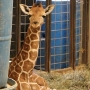 Giraffe calf born at Wildlife Safari is the first in park's 44-year history