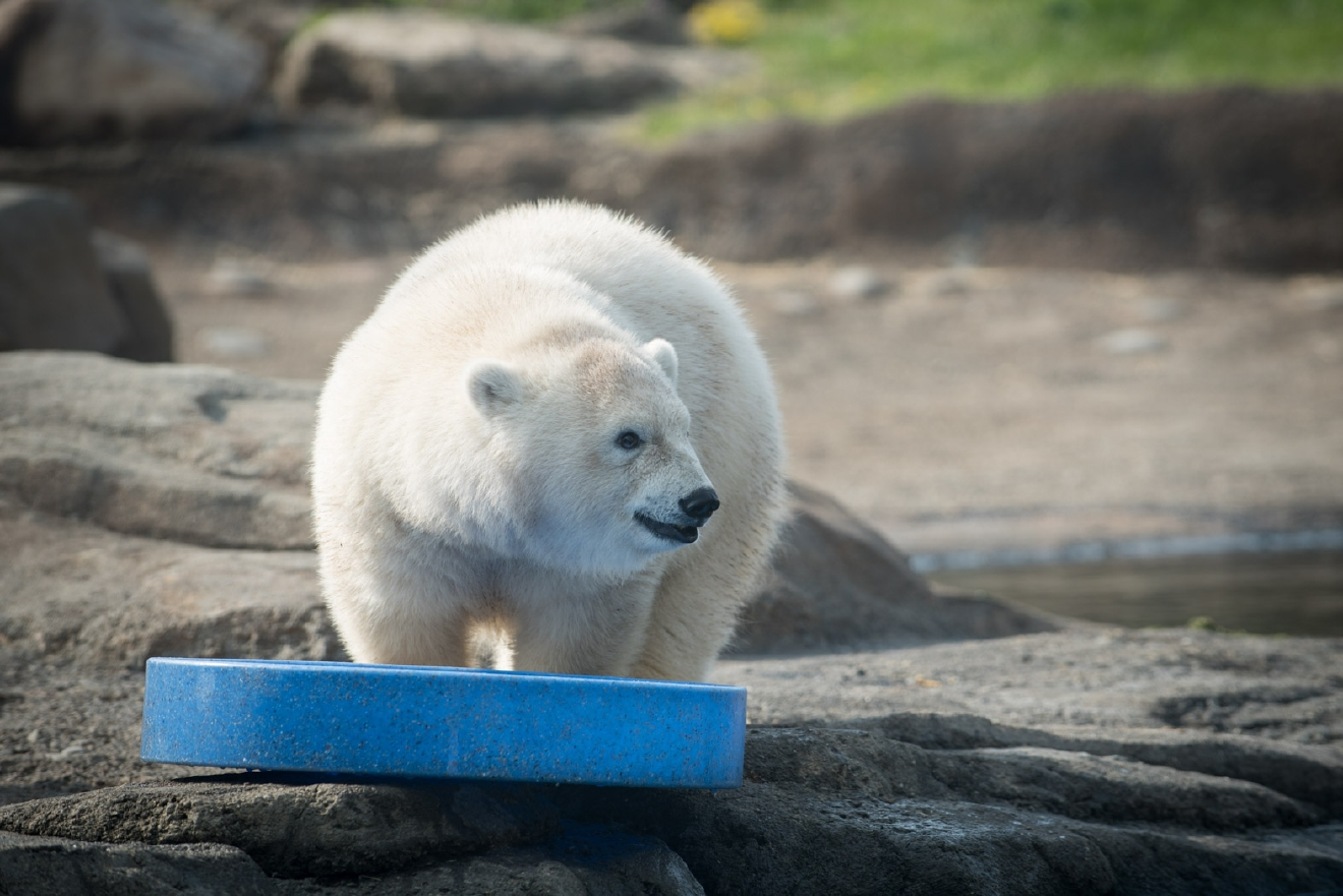 """Nora, the young polar bear who has captivated much of the country since her birth at the Columbus Zoo last November, is moving to the Oregon Zoo this fall,"" the Oregon Zoo said Wednesday in a press release. ""An official date for this Arctic ambassador's West Coast debut has not been set, but visitors may be able to see Nora in her new home as early as mid-October."" (Grahm S. Jones, Columbus Zoo and Aquarium)"