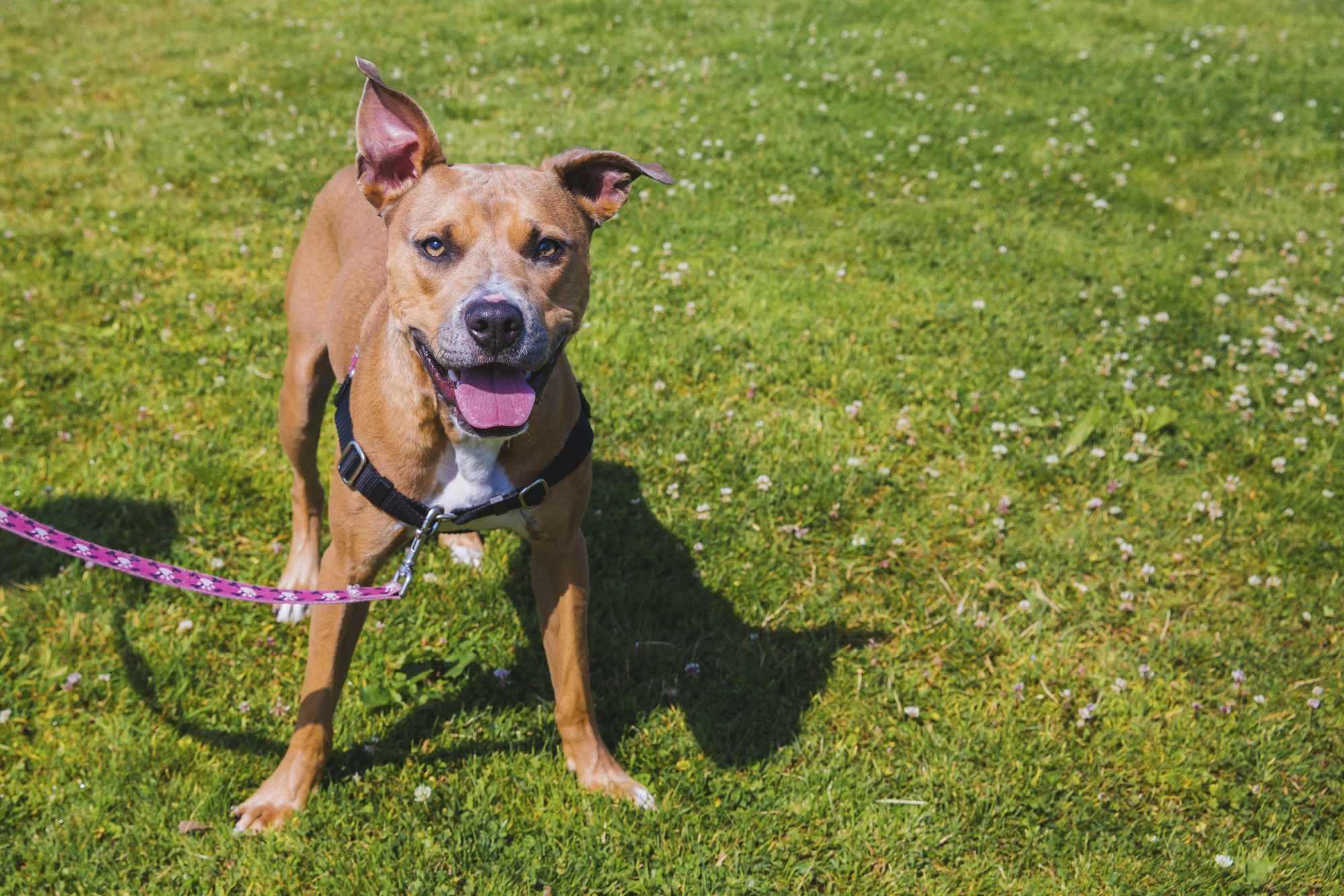 This weeks' pup is Lyric, the 1.5-year-old Pitbull Mix. Lyric is up for adoption at the Prison Pet Partnership in Gig Harbor. She is equal parts fun and playful as she is couch potato cuddle bug. She also enjoys lots of attention, playing with her chew bones, belly scratches, kisses, laying in the sunshine, running with her friends. She dislikes when people she doesn't know stare at her or lean over her head. Lyric is looking for a family and if you or someone you know are interested in meeting this sweet babe, email Cait at info@prisonpetpartnership.org. You can also learn a little more about Prison Pet Partnership by visiting their Facebook page or instagram, @prison_pet_partnership.{ }The Seattle RUFFined Spotlight is a weekly profile of local pets living and loving life in the PNW. If you or someone you know has a pet you'd like featured, email us at hello@seattlerefined.com or tag #SeattleRUFFined and your furbaby could be the next spotlighted! (Image: Sunita Martini / Seattle Refined).