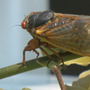 Cicadas emerge four years earlier than anticipated in D.C. area