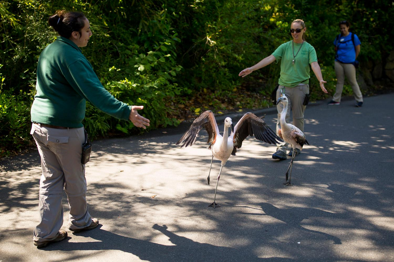 The Woodland Park Zoo's Chilean flamingos, Paco and Pluma, take a walk through the zoo on Friday, June 30, 2017. (Sy Bean / Seattle Refined)