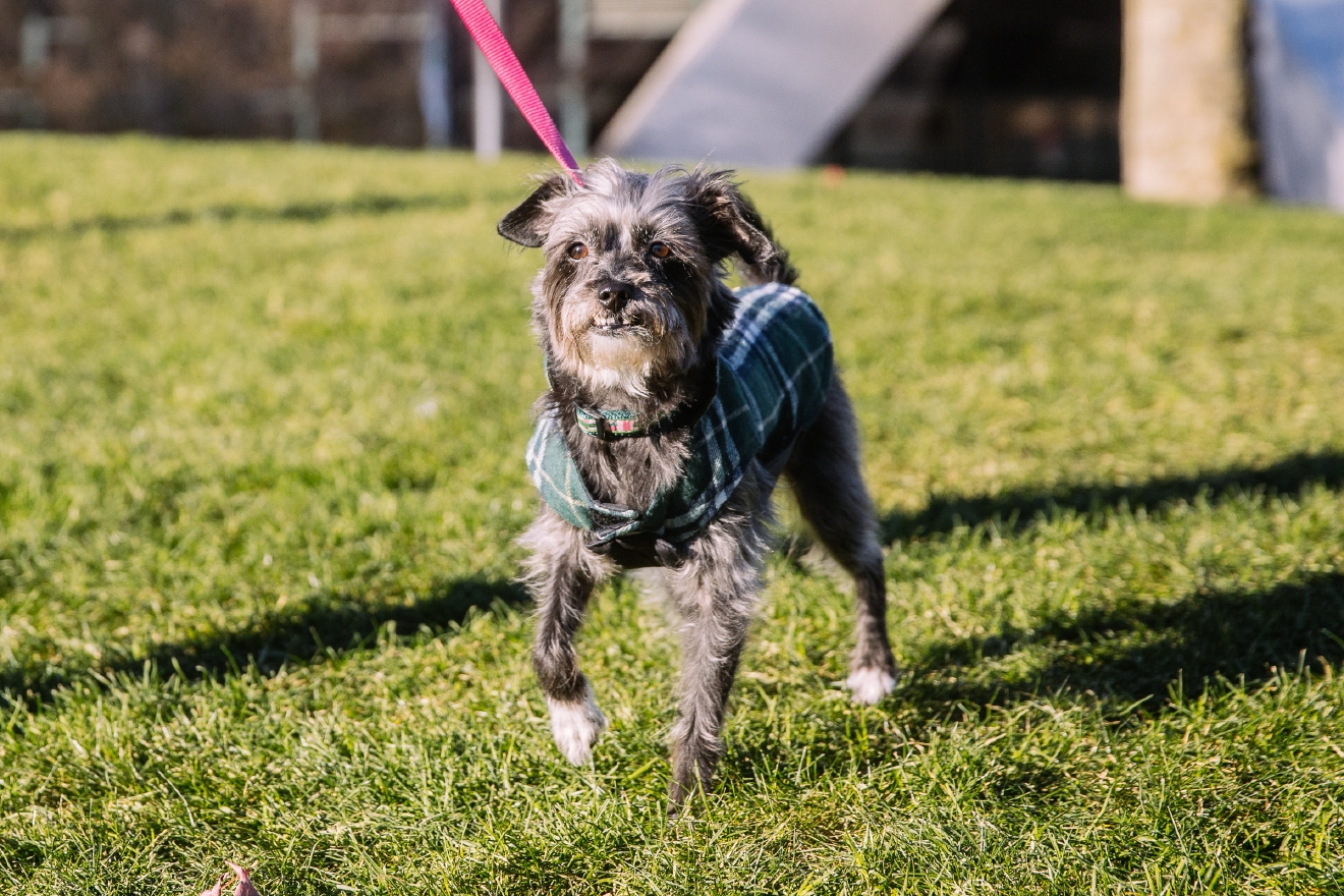 Olive the Terrier Mix is our Seattle RUFFined spotlight this week! Olive is 9 years old and was adopted from Seattle Humane. Olive loves burrowing in the blankets, hiking at Carkeek Park, and meeting other dogs.  He hates the rain, when her mom leaves her and getting a bath.   The Seattle RUFFined Spotlight is a weekly profile of local pets living and loving life in the PNW. If you or someone you know has a pet you'd like featured, email us at hello@seattlerefined.com or tag #SeattleRUFFined and your furbaby could be the next spotlighted! (Image: Joshua Lewis / Seattle Refined)