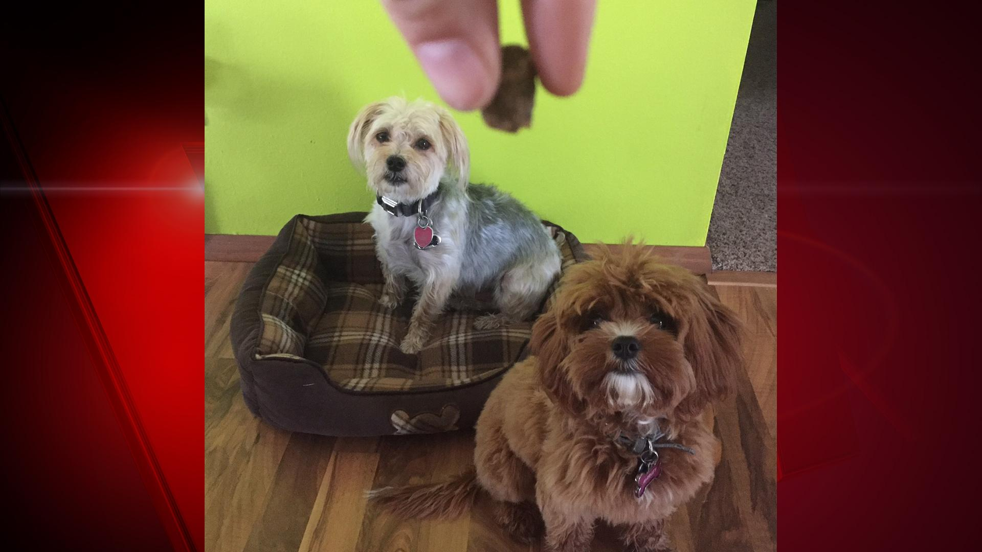 "Meet FOX 11 digital producer Ashley Kuskie's dogs, Marley and Otto. L-R, Otto is a five-year-old Maltese/Yorkshire Terrier and Marley is a 6-month-old Cavalier King Charles Spaniel/Poodle.  Ashley says, ""They're easily bribed :)"" (WLUK/Ashley Kuskie)"