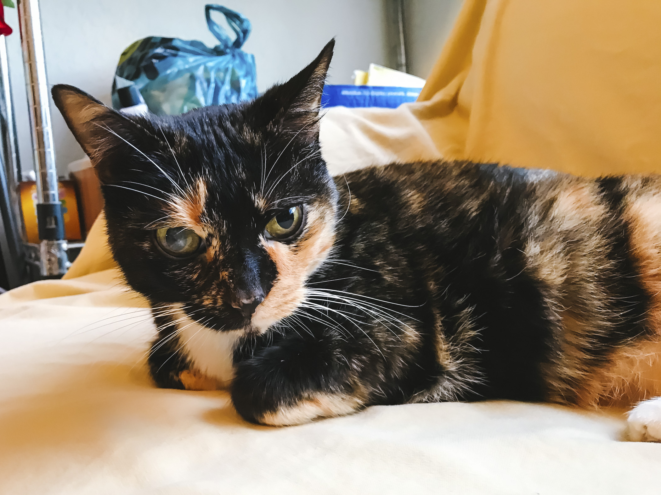 Meet Figaro Coi the 11-year-old Calico. This sweet cat was abandoned by previous owners at less than a year old, and has settled into his new home and has lived quite the life as a house cat in 'burbs. Figaro Coi likes sleep and more sleep, going on walks outside and the smell of flowers. He dislikes children, loud noises and the vet.{ }The Seattle RUFFined Spotlight is a weekly profile of local pets living and loving life in the PNW. If you or someone you know has a pet you'd like featured, email us at hello@seattlerefined.com or tag #SeattleRUFFined and your furbaby could be the next spotlighted! (Image: Sunita Martini / Seattle Refined).