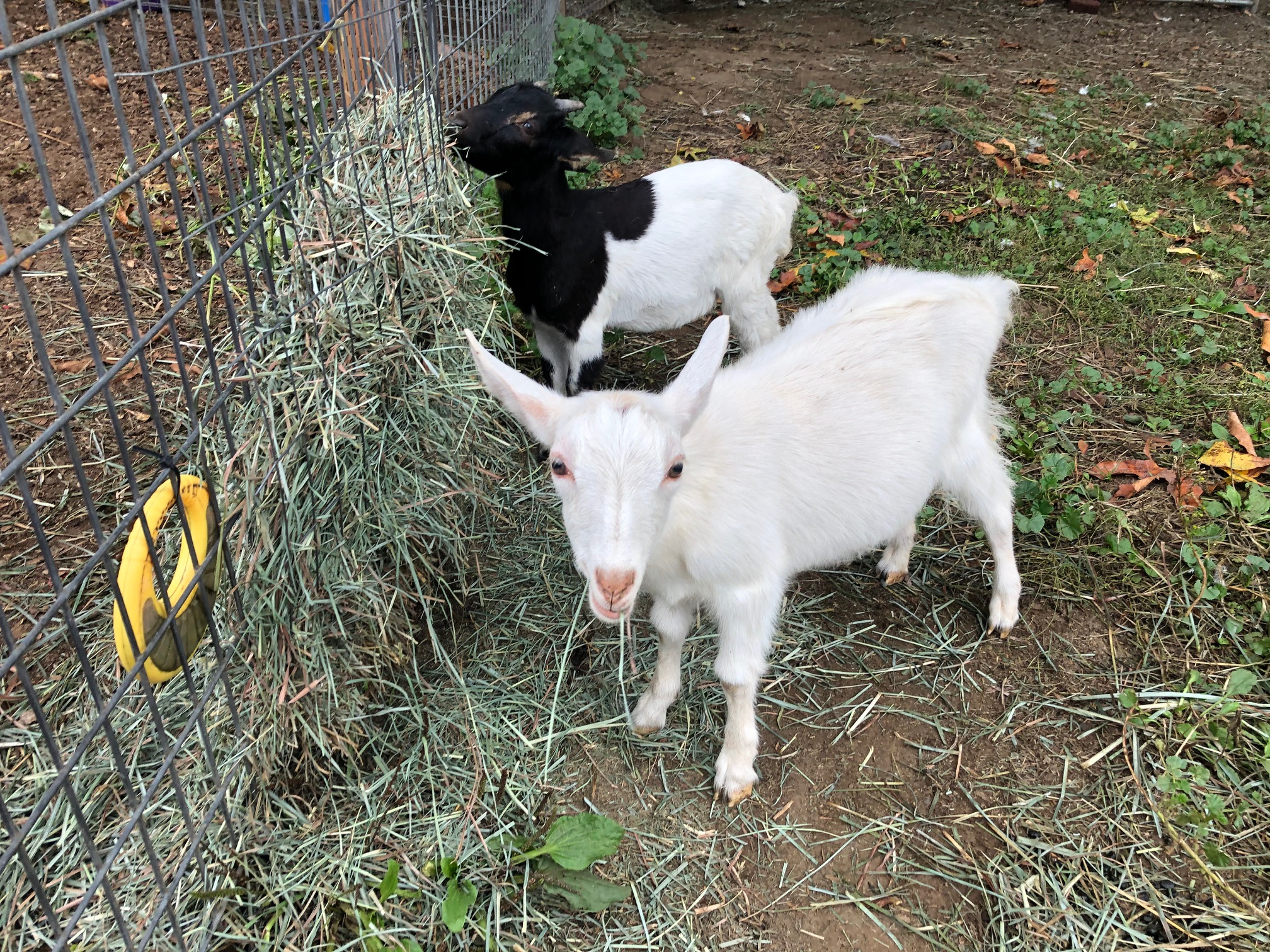 "According to Jamison, ""An only goat is a lonely goat."" (Image: Seattle Refined)"