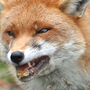 95-year-old man beats rabid fox to death with wooden plank