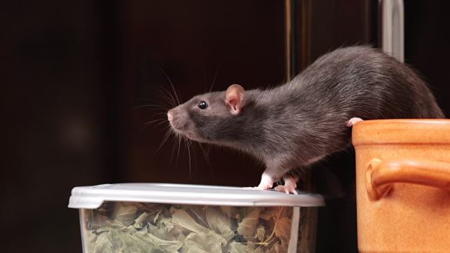 Seattle is the #7 WORST City for Rats – Here's What to do About It