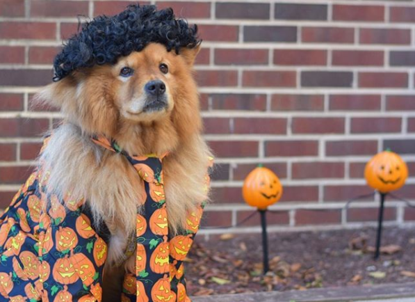 IMAGE: IG user @izzy_the_chow{&amp;nbsp;} / POST:{&amp;nbsp;}I'M DAVID S. PUMPKINS! ANY QUESTIONS????<p></p>