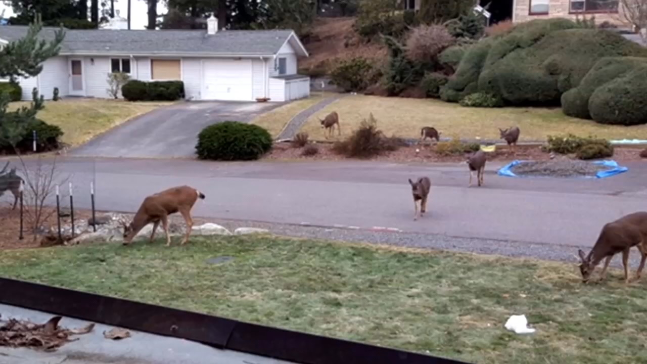 Deer are invading a Bellingham neighborhood by the dozens and feeding the animals could soon be against the law. (Photos courtesy: neighbors in Bellingham's South Hill area)