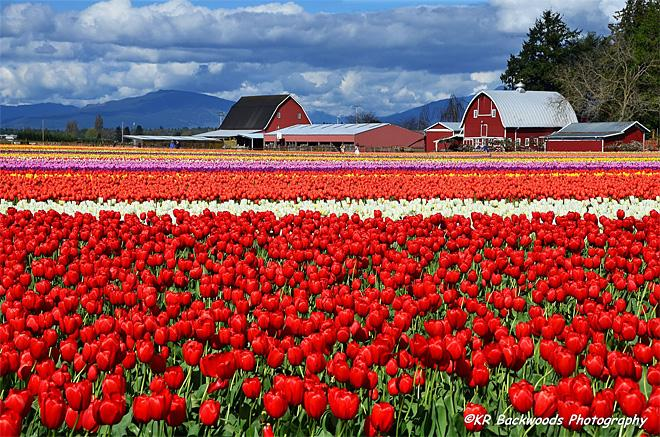 Skagit Valley Tulips (Photo: KR Backwoods Photography)