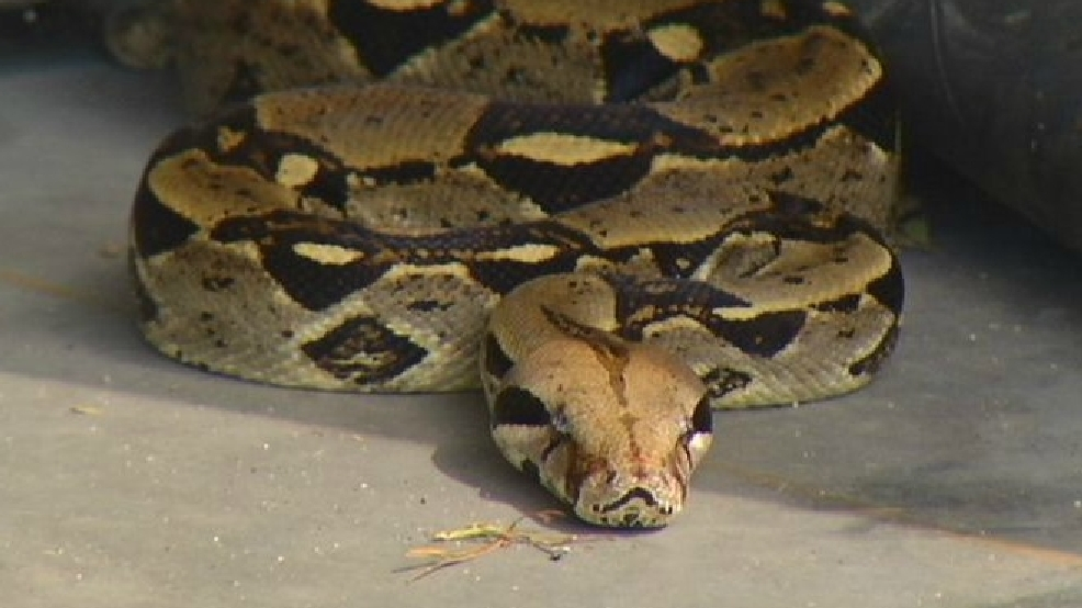 KBOI 2News helps find 9-foot boa constrictor that escaped